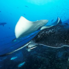 liveaboard Dive Expedition | Manta Rays