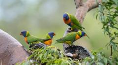 Local Wildlife - Rainbow Lorikeets