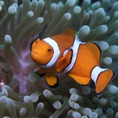 Lot's of Nemo's on the Great Barrier Reef