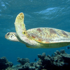 Lot's of sea turtles can be seen on the Great Barrier Reef