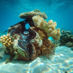 Magnificent displays of clam shells on the Great Barrier Reef