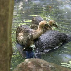 Male Cassowary & chicks negotiating a river in Cape Tribulation