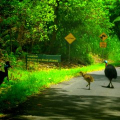 Male Cassowary Looking After His Chicks | 1 Day Tour Departs From Port Douglas