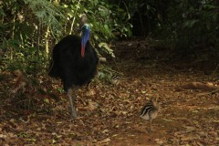 Male Cassowary With Chick | Daintree Crocodylus Village