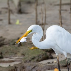 Mareeba Wetlands Bird Watching Tour | Egrets