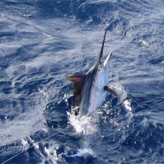 Marlin fishing on Cairns charter boat