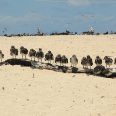 Michaelmas Cay Great Barrier Reef - Bird Nesting Island