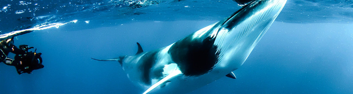Swimming with Dwarf Minke Whales - Dive Expeditions - 3, 4, 7 Nights (June - July)