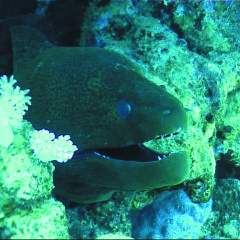 Moray eel on Great Barrier Reef