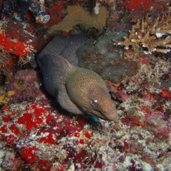 Moray eels come out for a look at the snorkellers & divers on the Great Barrier Reef