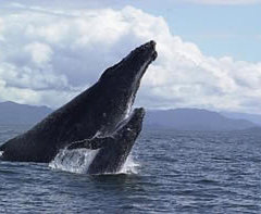 Whale watching tours Cairns - Mother & Calf Humpback Whales Great Barrier Reef