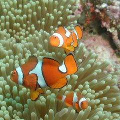 Nemo on the Great Barrier Reef Australia