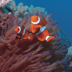Nemo the Clownfish is a popular site on the Great Barrier Reef in Australia