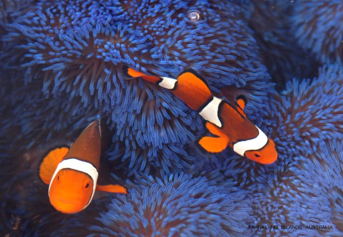 Nemo the Ocellaris or False Percula Clownfish
