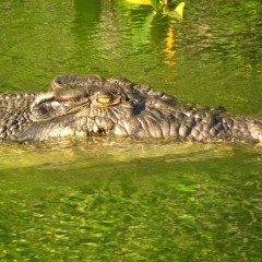 Optional Crocodile Spotting Cruise | Cape York and Australian Outback Australia