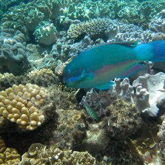 Parrot fish are so beautifully colourful