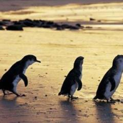 Penneshaw, Kangaroo Island - Enjoy a day to explore and experience the wonder of little penguin colony viewing.
