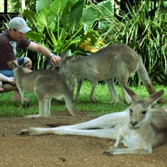 Pet and feed Australian wildlife like these Kangaroos at Rainforestation Nature Park