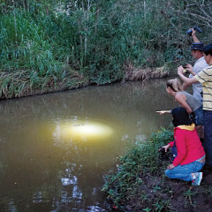 Platypus spotting at night in Cairns, Atherton Tablelands