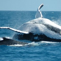 Whale watching tours Cairns - Playful Humpback Whales in Cairns