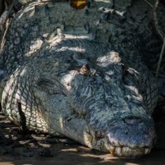 Pre-historic crocodile on the Daintree River