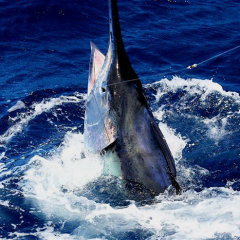 Marlin Fishing Private Charter Boat | Cairns Tropical North Queensland Australia