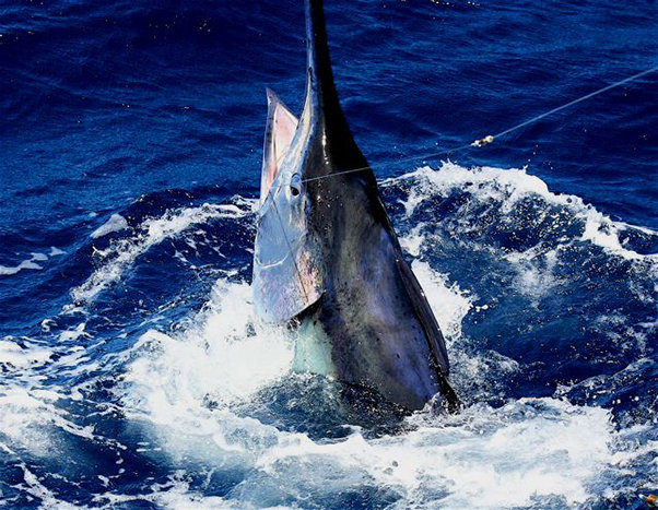 Cairns tours attractions the cairns port douglas for Marlin fishing charters