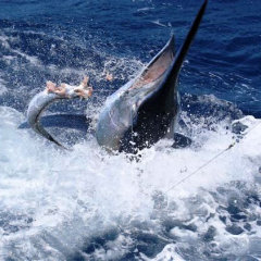 Black Marlin Caught & Released On A Private Heavy Tackle Fishing Charter Off Cairns | North Queensland Australia