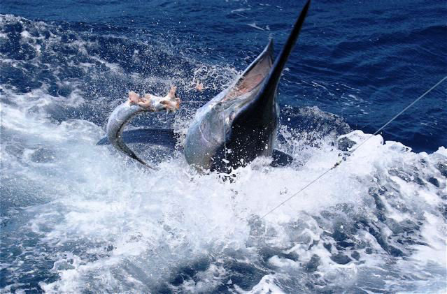 Fishing cairns private charter boat heavy light tackle for Marlin fishing charters