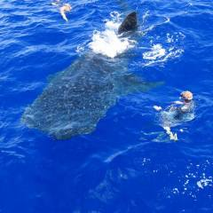 Charter Boats From Cairns Great Barrier Reef | Whale Shark