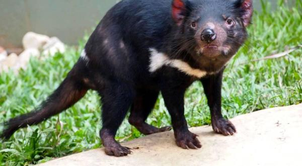 Rainforestation Nature Park | Tasmanian Devil