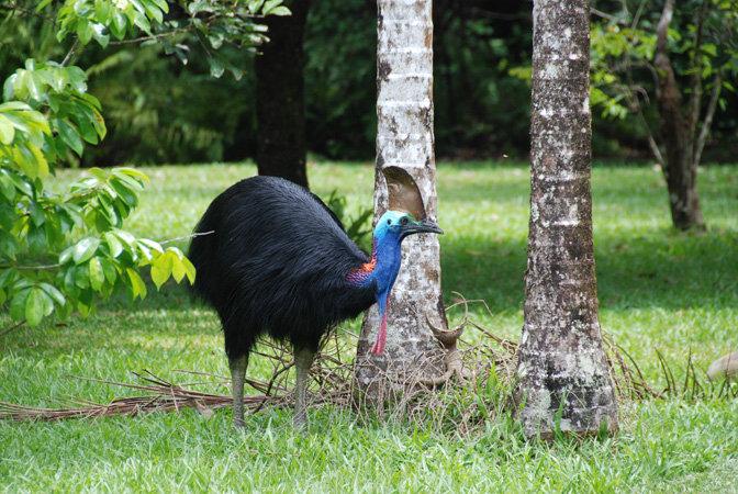 The cassowary port douglas