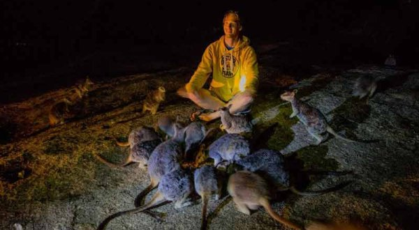 Hand Feed Rock Wallabies on a night tour in Cairns
