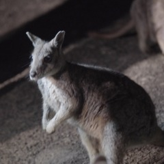 Rock Wallabies | Cairns Night Hummer Tour