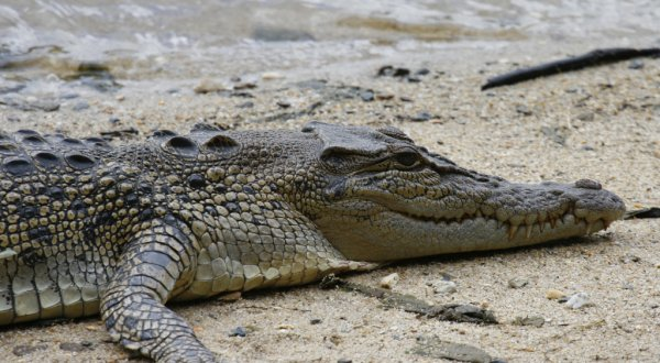 Daintree River Cruise - Saltwater Crocodile basking on the Daintree River