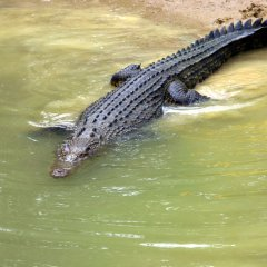 Saltwater crocodile Cape Tribulation