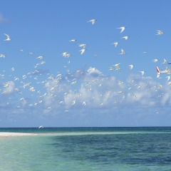 Scenic helicopter flight Cairns | Birds on Michaelmas Cay