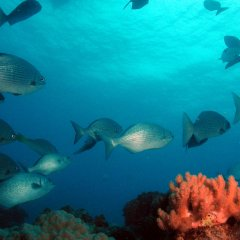 Schools of fish on the Great Barrier Reef