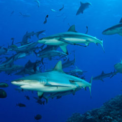 Scuba Dive Overnight Trip | Group of Sharks