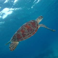 Scuba dive with turtles on the Great Barrier Reef