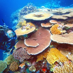 Scuba diver and plate coral Great Barrier Reef Cairns