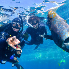 Scuba diving on the Great Barrier Reef with friendly Maori Wrasse