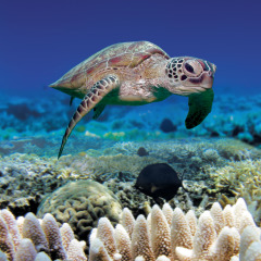 Sea turtle on the Great Barrier Reef in Cairns