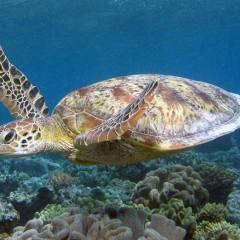 Sea Turtles are often seen in the Low Isles Lagoon