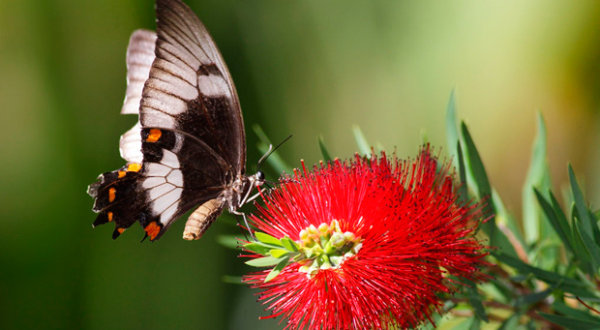 Visit The Australian Butterfly Sanctuary | A Must Do Activity In Kuranda Tropical North Queensland | Largest Butterfly Aviary In Australia