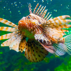 See beautiful but dnagerous Lion Fish in the Cairns Aquarium