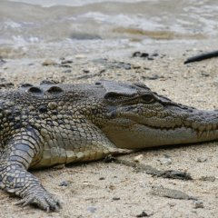 See crocodiles in their native habitat the Daintree River