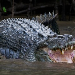 See crocodiles on the Daintree River Cruise