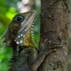 See dragons in the Daintree Rainforest on our Nature Tours