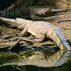See Huge Crocodiles and Alligators at Hartleys Crocodile Park